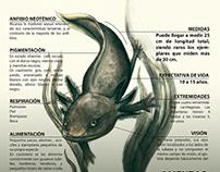 Infografía Ajolote