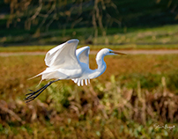Just Another Egret Series