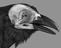 Anatomic Study - Corvus corax's Skull