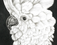 Cockatoo Pencil Drawing