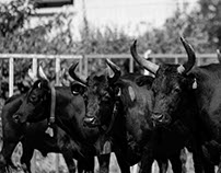 40 taureaux_st. chaptes
