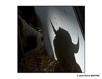 Ombres et lumières bovines