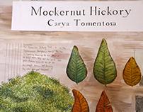 Botanical Study of Mockernut Hickory Tree