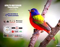Azulito Multicolor (Passerina ciris)