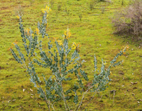 Flora : Western Australia.