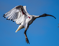 Australian White Ibis, Lake Weeroona