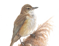 Great reed warbler - acrylic