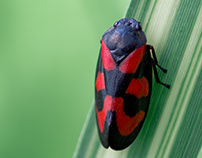 Photo Series: Nature / Case 29: Cercopis vulnerata