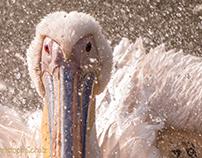 Pelikan in Aktion / Pelican in action