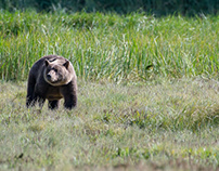 Alaska, Grizzly in the grass