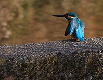 TODAY'S KINGFISHER