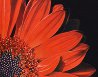 Red Daisy Gerbera