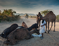 Pushkar, Gathering of Camels