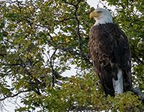 Alaska, Eagles