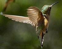 Hummingbird on Pond