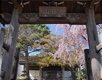 Weeping Cherry Tree – Choshouji Temple - Koganei Tokyo