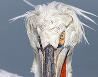 Dalmatian pelican (Pelicanus crispus)