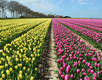 Tulip Fields in the Noordoostpolder in The Netherlands