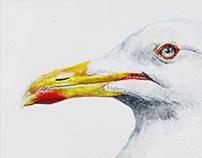 Baltic Gull 𝐿𝑎𝑟𝑢𝑠 𝑓𝑢𝑠𝑐𝑢𝑠