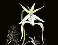 Polyrrhiza lindenii Ghost orchid
