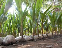 cara menanam kelapa entok