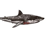 STIPPLE WHITE SHARK