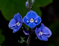 Tiny blues...
