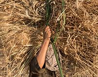 Wheat harvest in Minya, Egypt.