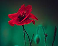 Poppies flower impression