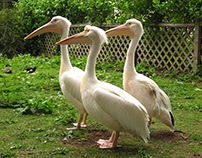 Pelican's life - Part 1: rock stars