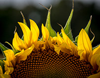 Sun- and other flowers