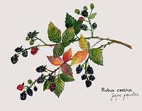 Blackberry, Jeżyna (Rubus caesius) - illustartion