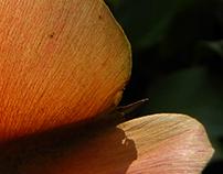 Cavallineia platanifolia