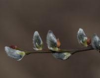 Willow catkin