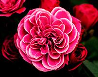 Visit to rose garden