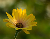 Dominant yellow