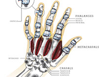 biomedical: hand anatomy illustration