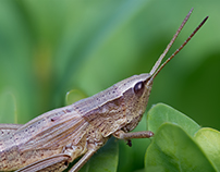 Photo Series: Nature / Case 19: Rufous The Grasshopper