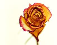 Olja's Roses