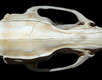 Rattus norvegicus skull