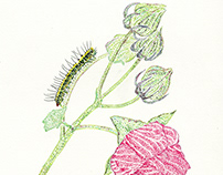 owlet moth: Xanthodes transversa