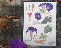 Watercolor ropewing/ Пурпурная ипомея