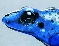 Dendrobates azureus (Blue poison dart frog)