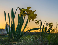 Daffodils on the Vistula River
