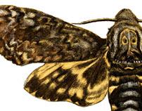Infografía Mariposa Calavera
