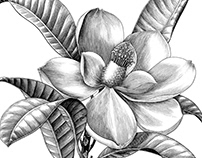 Magnolia flower drawing vintage style