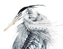 Blue Herons watercolours illustrations