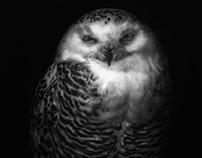 Silvy the owl
