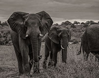 Elephants of the Zambezi River