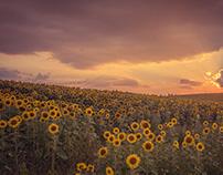 Sunflowers sunset